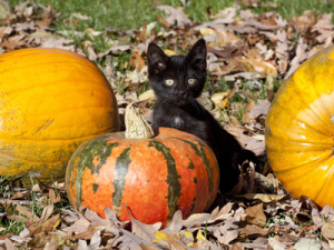 Black Kitten on a Pumpkin
