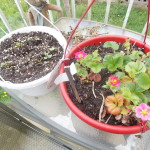 Container garden strawberries herbs