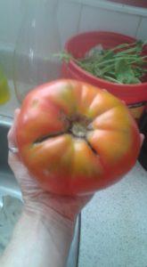 Locally Grown Tomato