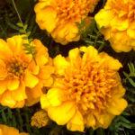 Marigolds and a spider - VIU Nanaimo BC