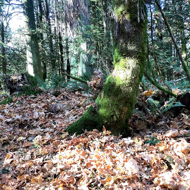 A stroll through the forest at Bright Angel Park in the Cowichan Valley BC